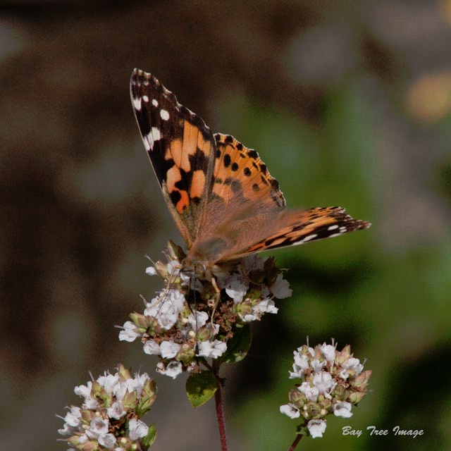 Painted Lady Butterfly 1