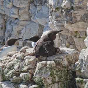 Contented Parent (Guillemot)